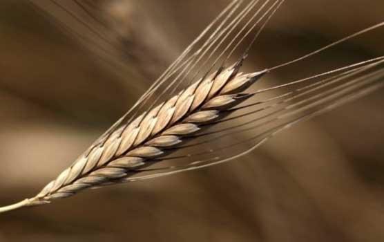 einkorn-wheat1-e1351782668239-680×387