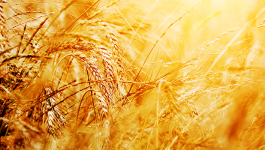 How Organic Whole-Wheat atta is better than its Organic Counterpart