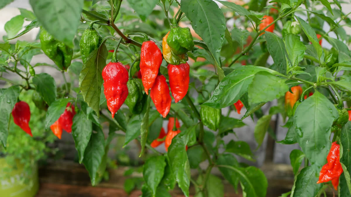 ghost-pepper-plant