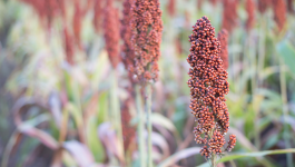Did You Know About These Different Types of Millets?