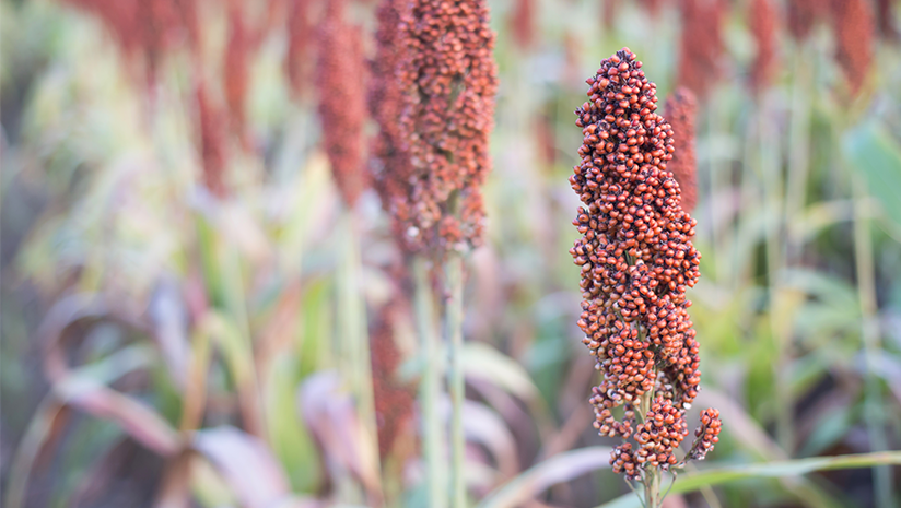 Did-You-Know-About-These-Different-Types-of-Millets?