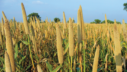 Do millets help in weight loss?
