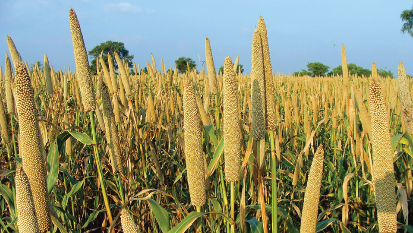 Do-millets-help-in-weight-loss?