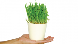 Your ultimate guide to growing wheatgrass at home