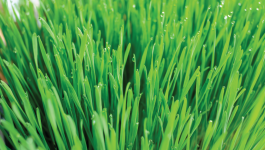 Can You Have Wheatgrass for Diabetes Management?
