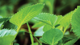 Everything you need know about ajwain leaves