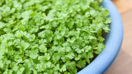 Easy Ways to Grow Coriander at Home