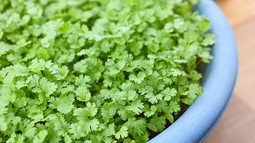 Easy-Ways-to-Grow-Coriander-at-Home