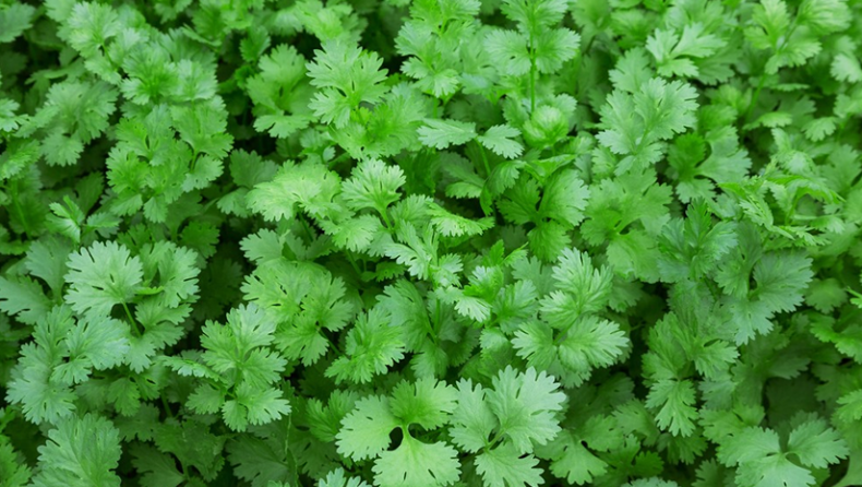 Coriander Leaves Benefits That Everyone Should Be Talking About